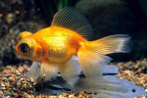 Золотая рыбка Телескоп (Carassius auratus) 7