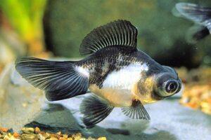 Золотая рыбка Телескоп (Carassius auratus) 5