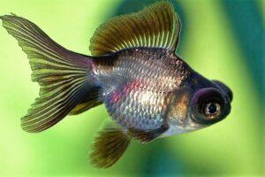 Золотая рыбка Телескоп (Carassius auratus) 8