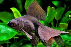 Золотая рыбка Телескоп (Carassius auratus) 9