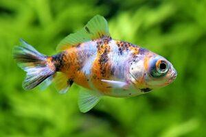 Золотая рыбка Телескоп (Carassius auratus) 2