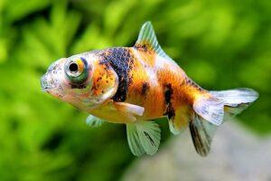 Золотая рыбка Телескоп (Carassius auratus) 1