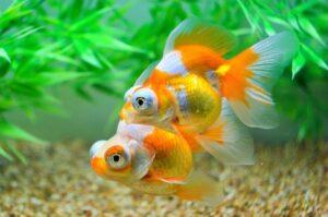 Золотая рыбка Телескоп (Carassius auratus) 4