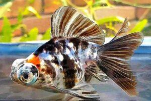 Золотая рыбка Телескоп (Carassius auratus) 10
