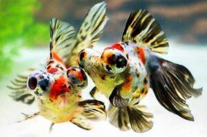 Золотая рыбка Телескоп (Carassius auratus) 6
