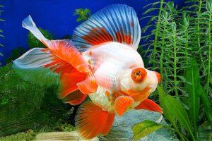 Золотая рыбка Телескоп (Carassius auratus) 3