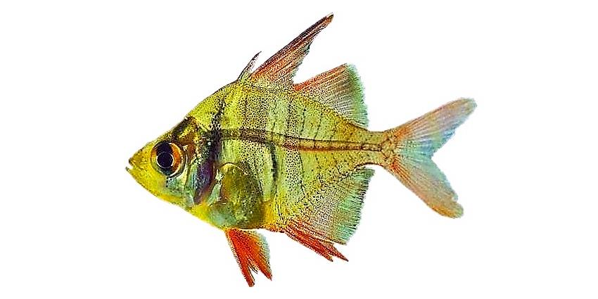 Индийский стеклянный окунь (Pseudambassis ranga) аквариумная рыбка, внешний вид