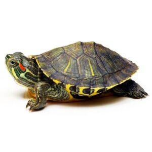 Черепаха КрасноухаяКрасноухая черепаха (Pseudemys scripta) купить