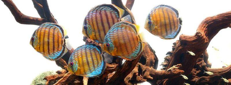 Обслуживание аквариумов с Дискусами