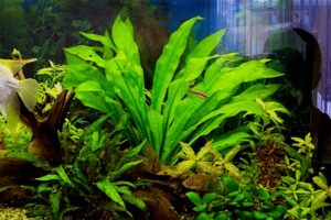 Эхинодорус Блехера (Echinodorus bleheri) 3