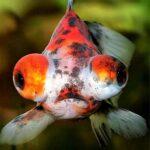 Золотая рыбка Телескоп (Telescope Goldfish)