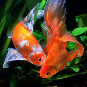 Золотая рыбка Комета (Comet Goldfish)