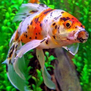 Золотая рыбка Шубункин (Shubunkin Goldfish)