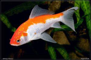Золотая рыбка Комета (Comet Goldfish) 7