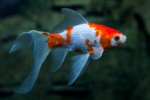 Золотая рыбка Комета (Comet Goldfish) 3