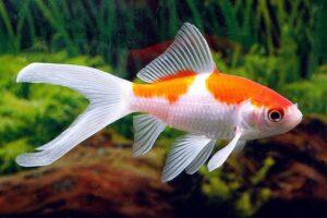 Золотая рыбка Комета (Comet Goldfish) 5