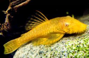 Анциструс обыкновенный (Ancistrus albino gold) 1
