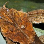 Буноцефал, Сом-банджо (Bunocephalus coracoideus) 7