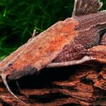 Буноцефал, Сом-банджо (Bunocephalus coracoideus) 2