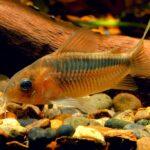 Коридорас Рабаути (Corydoras rabauti) 5