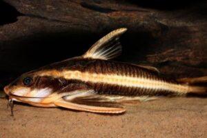 Платидорас полосатый (Platydoras armatulus) 2