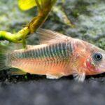 Коридорас Рабаути (Corydoras rabauti) 4