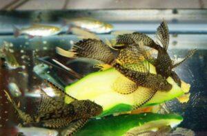 Анциструс вуалевый (Ancistrus sp. longfin) 3