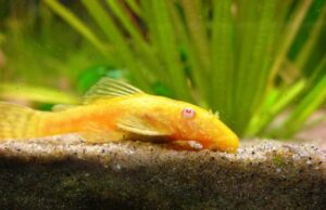 Анциструс обыкновенный (Ancistrus albino gold) 5