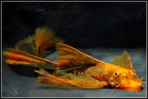 Анциструс вуалевый (Ancistrus sp. longfin) 2