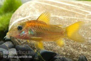 Коридорас бронзовый (C. aeneus gold stripe) 1