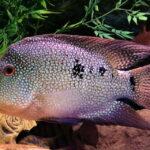 Техасская Цихлида (Herichthys cyanoguttatus) 2