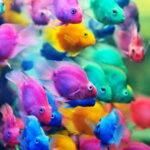 Цихлида Попугай (Parrot Cichlid) 1