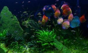 Дискусы в аквариуме 01