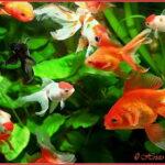 Золотая рыбка (Carassius auratus)1