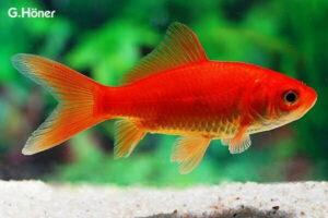 Золотая рыбка (Carassius auratus)