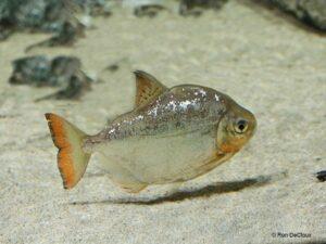 Метиннис серебристый (Metynnis argenteus) 6