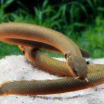 Каламоихт калабарский (Erpetoichthys calabaricus)6