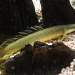 Полиптерус сенегальский (Polypterus senegalus)03