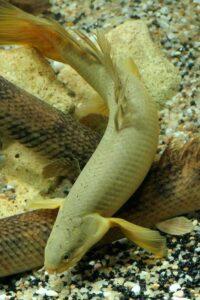 Полиптерус сенегальский (Polypterus senegalus)10