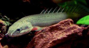 Полиптерус сенегальский (Polypterus senegalus)07