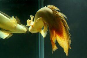 Полиптерус сенегальский (Polypterus senegalus)05
