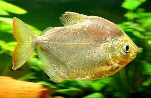 Метиннис серебристый (Metynnis argenteus) 4