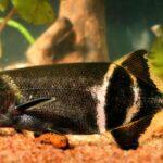 Рыба-слон (Gnathonemus petersii)