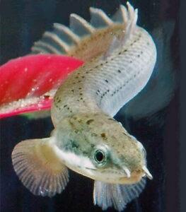 Полиптерус сенегальский (Polypterus senegalus)12