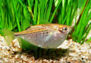Клинобрюшка пятнистая (Gasteropelecus maculatus)1
