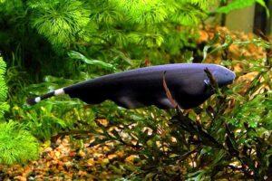 Аптеронот, Нож черный (Apteronotus albifrons) 3