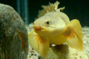 Полиптерус сенегальский (Polypterus senegalus)06