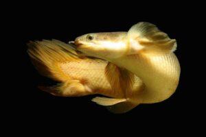 Полиптерус сенегальский (Polypterus senegalus)02