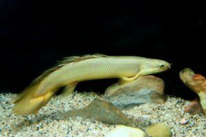 Полиптерус сенегальский (Polypterus senegalus)04