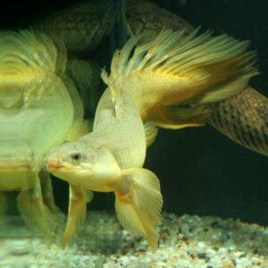 Полиптерус сенегальский (Polypterus senegalus)09